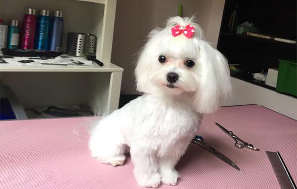 catelusa alba cu mot la salonul de frizerie canina