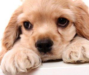 Probleme oculare si ingrijirea ochilor la caini