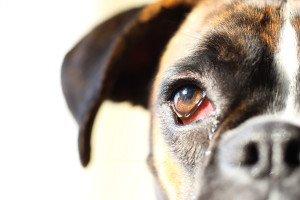 Afectiuni ale ochilor la catei