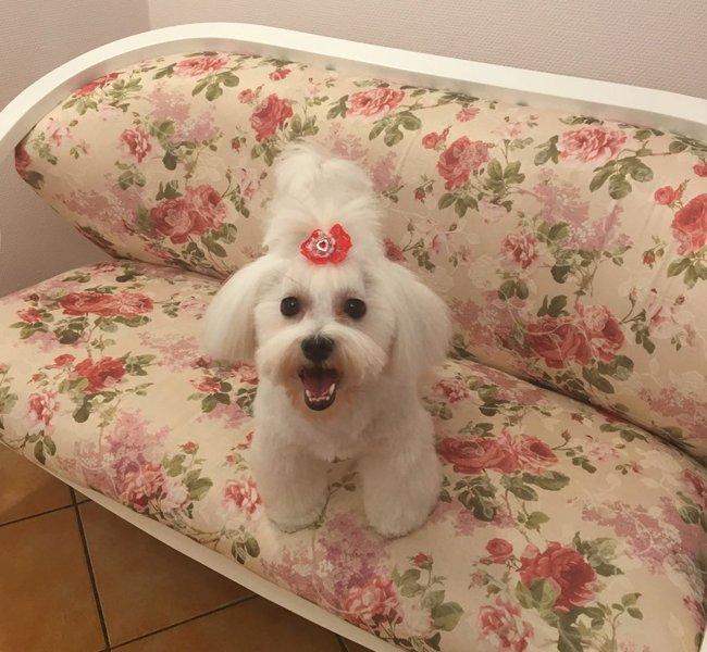 Galerie foto cu blanosi rasfatati la salonul de frizerie canina