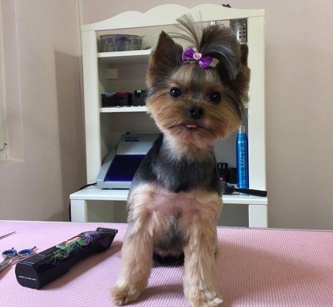 Yorkie mic la salonul de frizerie canina