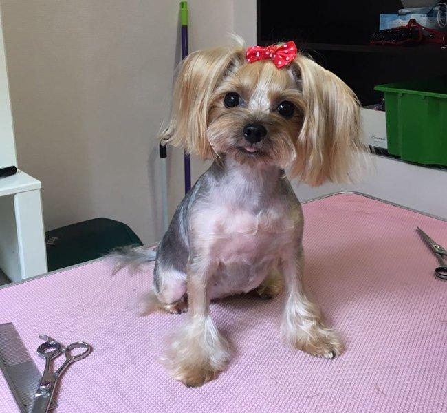 Tasha este tunsa si coafata la salonul de frizerie canina Alphapet
