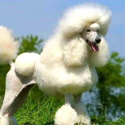 Ingrijirea blanitei cu textura creata la salonul de frizerie canina